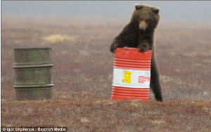 A bear finds an open barrel and sniffs the fumes. Photo: Igor Shpilenok